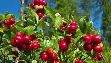 Cranberry Extract Market