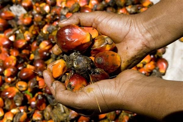 Global Palm Seed Oil Market 2019: Wilmar International Limited, Sime Darby, Cargill Inc., United Palm Oil Industry Public Company Limited
