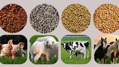 Probiotics in Feed
