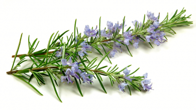 Rosemary Extract Market